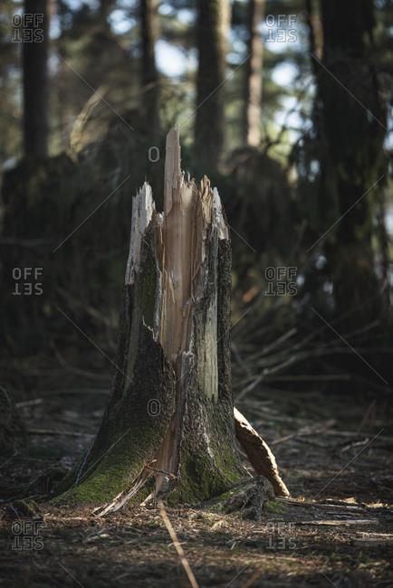 Stump of broken tree trunk in forest