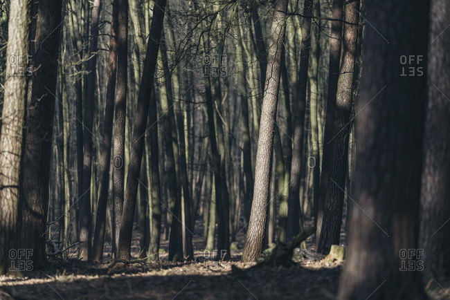 Tree trunks in forest lit by sunlight