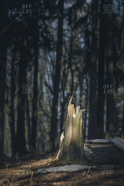 Broken tree trunk in pine forest lit by sunlight