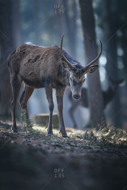 Young male red deer in pine forest,, looking towards camera