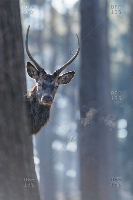 Curious young male red deer looking around tree trunk in forest