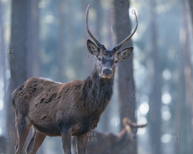 Alert young male red deer (cervus elaphus) in forest, looking towards camera