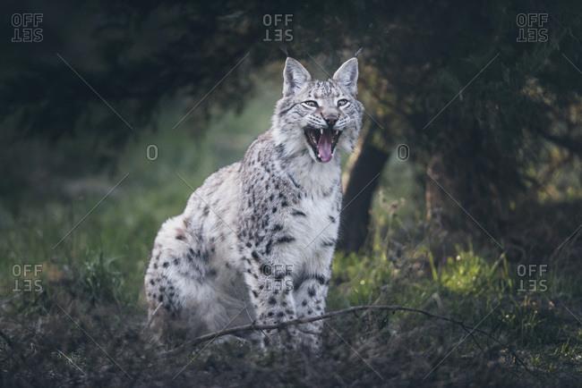 Yawning eurasian lynx (lynx lynx) sitting and in grass near bushes