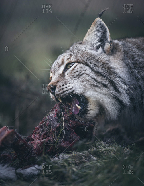 Headshot of eurasian lynx (lynx lynx) eating its fresh prey