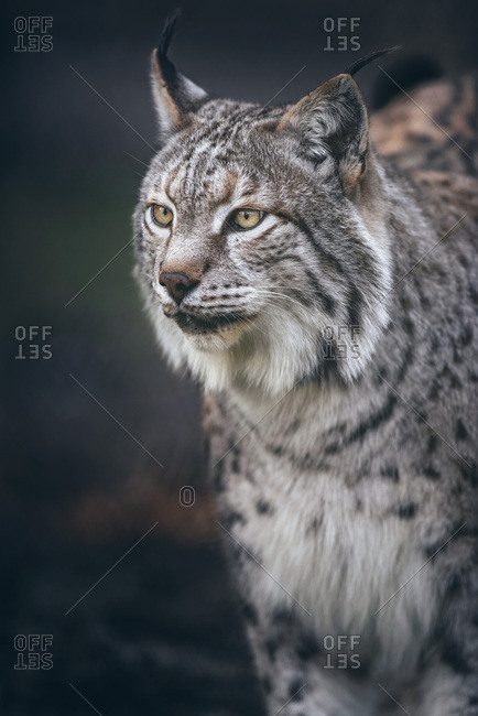 Headshot of eurasian lynx (lynx lynx) in dark forest in Germany