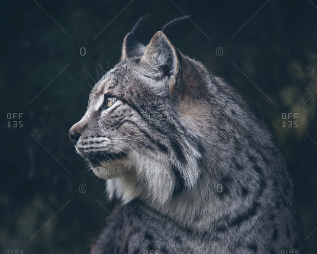 Profile headshot of eurasian lynx (lynx lynx) in dark forest