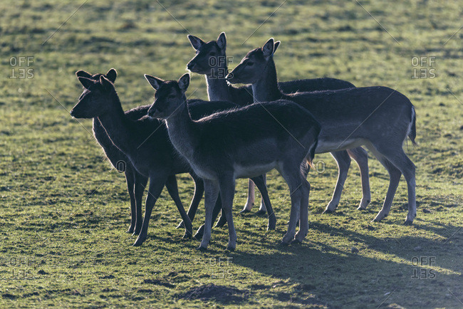Silhouette of five female fallow deer standing together in meadow