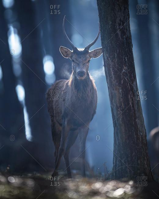 Alert young male red deer in cold dark forest with condensation breath