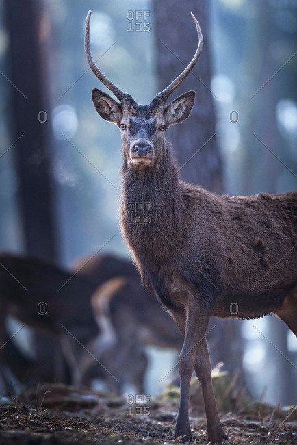 Observant young male red deer in forest, looking towards camera