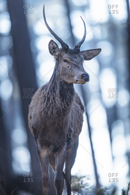 Young male red deer in forest looking down towards camera