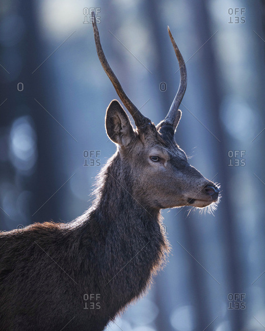 Profile headshot of young male red deer in forest backlit by sunlight