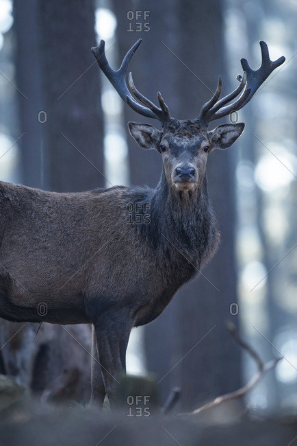 Male red deer with big antlers looking into camera, hazy german forest