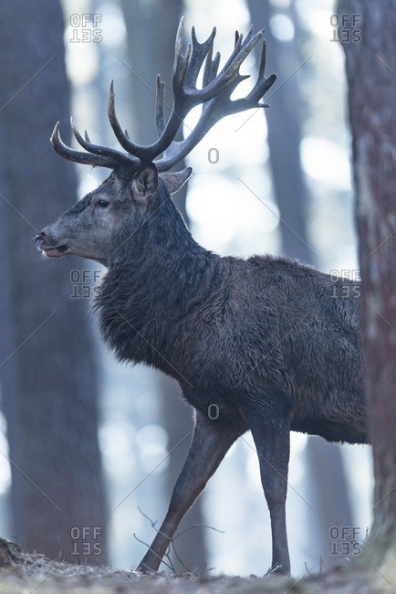 Red deer stag walking between trees in forest, side view