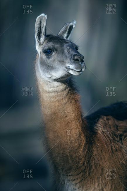 Headshot of guanaco (Lama guanicoe), looking towards camera