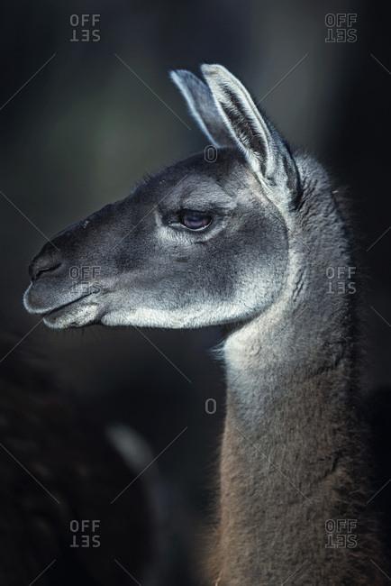Profile headshot of guanaco (Lama guanicoe) looking aside