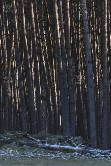 Pattern of tree trunks lit by low sunlight in winter