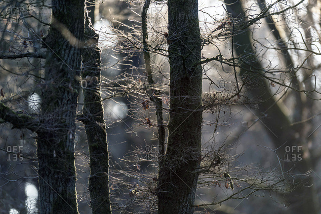 Pattern of tree trunks twigs and branches backlit by low winter sunlight