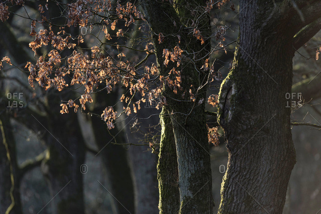 Tree trunks in moss with brown colored leaves backlit by low winter sunlight