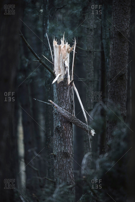 Close-up of broken pine tree trunk in dark forest