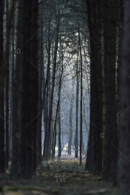 Dark hazy winter forest path with tall tree trunks on each side