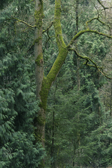 Tree covered in moss between fir trees in forest