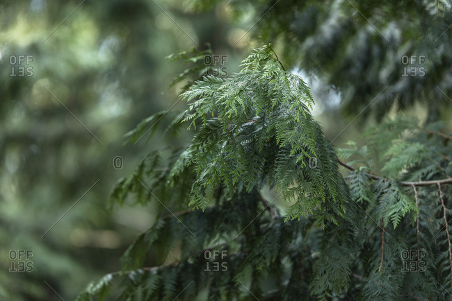Detail of pine tree in forest