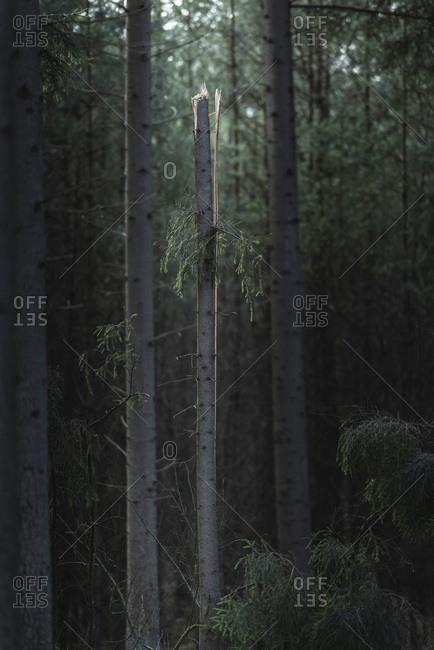 Broken tree trunk standing out in dark pine forest