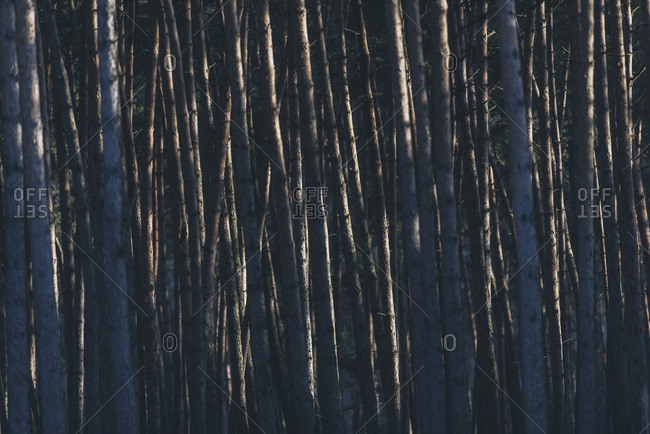 Pattern of tree trunks lit by low sunlight in winter