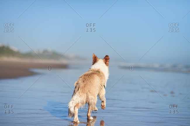 Dog  border collie fetching ball at the beach