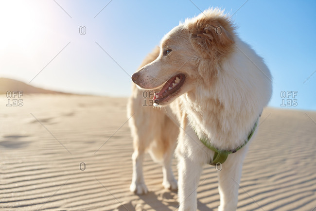Portrait of a border collie dog pet at the beach