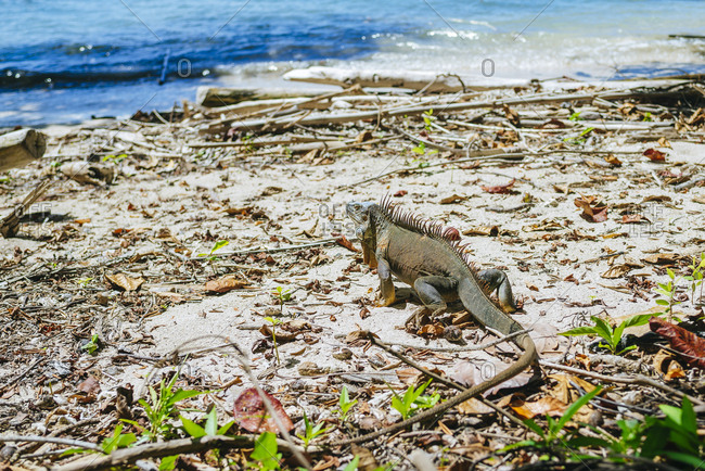 Costa Rica- Limon- Iguana walking on the beach of the Cahuita National Park