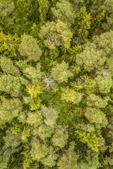 Aerial view of a nordic green pines forest on Island Vormsi in Estonia
