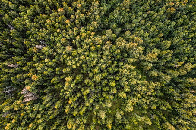 Aerial view of a nordic pines forest in Estonia