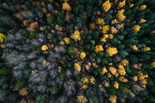 Aerial view of a colorful nordic pines forest at fall in Estonia