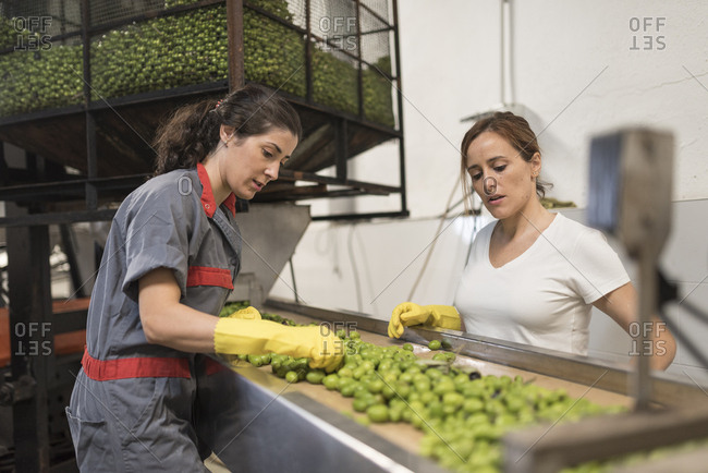 Image of worker women selecting and cleaning fresh olives in traditional company