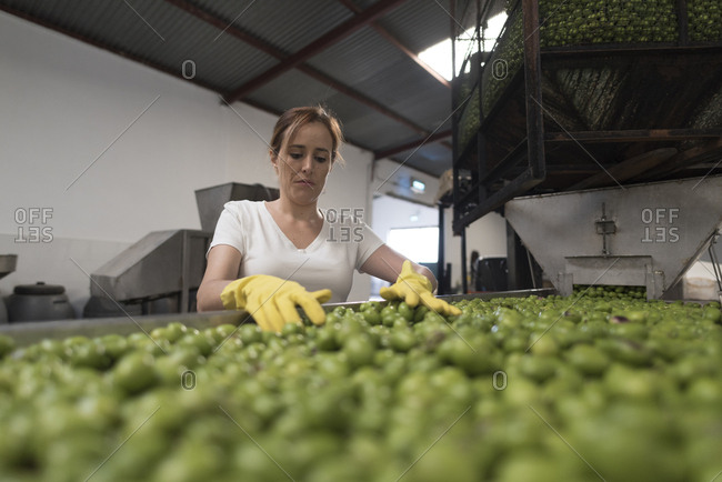 Wide angle image of worker woman selecting and cleaning fresh olives in traditional company