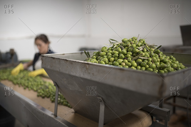 Detail of olives in a factory machine