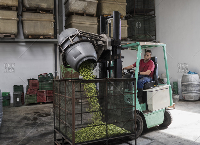 Man with forklift depositing olives from barrel to cage