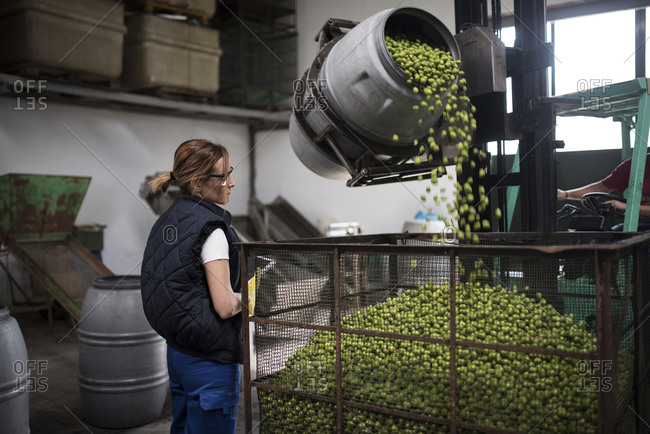 Woman revise olives falling into a cage in food processing and storage company
