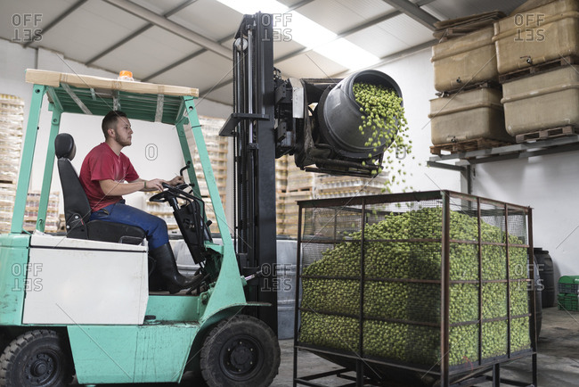 Man with forklift in olives factory filling a cage with green olives