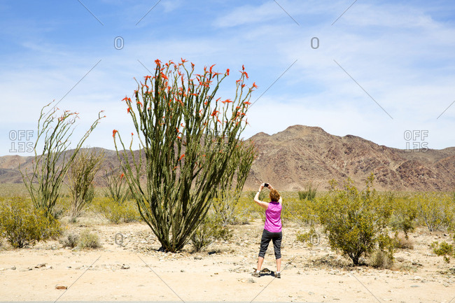 Woman taking photo of blossoming cactus in the desert