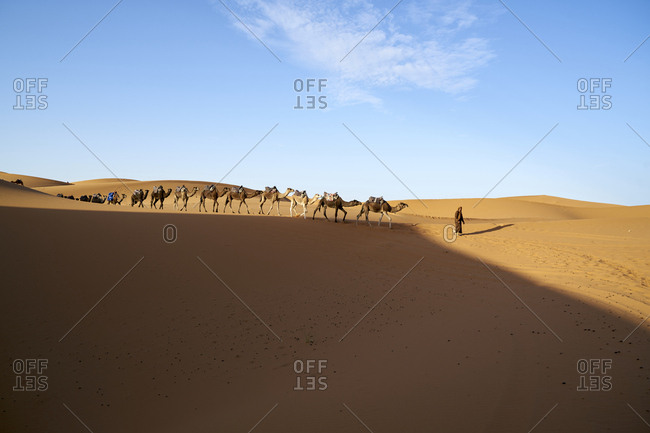 Erg Chebbi  Dunes, Merzouga, Saharan Morocco -  06 November 2017: Berber nomad leading camels across the dunes