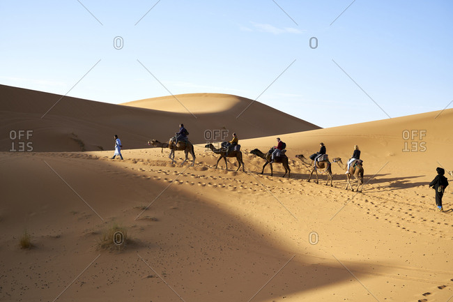 Erg Chebbi  Dunes, Merzouga, Saharan Morocco -  06 November 2017: Berber nomad leading tourists on camels across the dunes