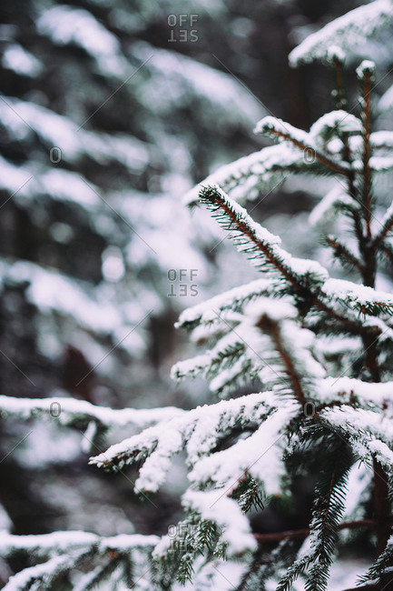 Close-up of snow covered spruce trees growing at forest