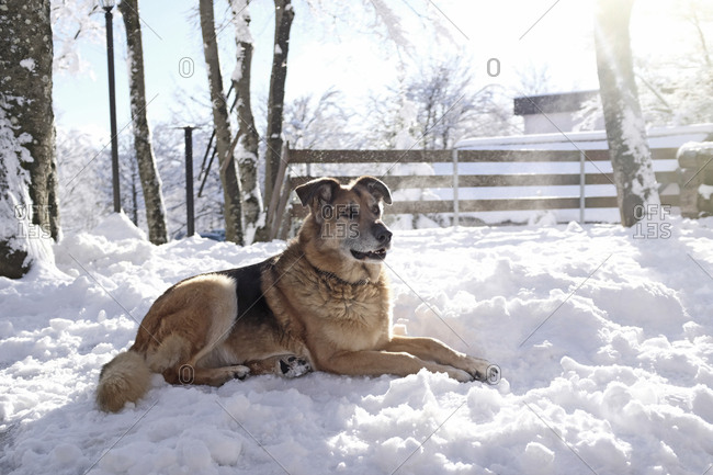 Dog looking away while sitting on snow covered field