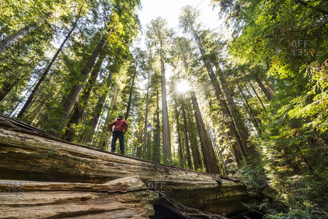A man hikes through giant redwood trees in Humboldt Redwoods State and National Park, California