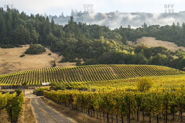 Vineyards with fog rolling through the hills in Anderson Valley Wine Country in Mendocino County, California