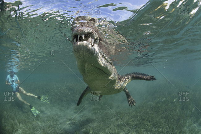 A snorkeler, diver in the water with a socially interactive crocodile at the Garden of the Queens, Cuba