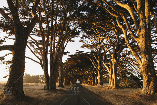 View along a tunnel of cypress trees which have grown together over the road, to create the cypress tree tunnel  Dusk, sunset