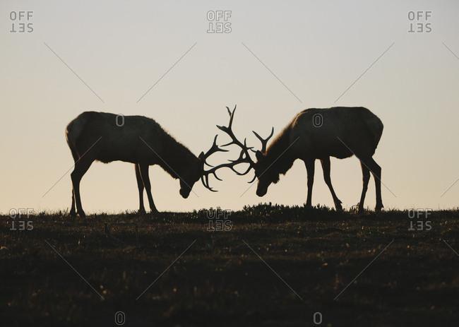 Silhouette of two Tule elk with locked antlers at dusk